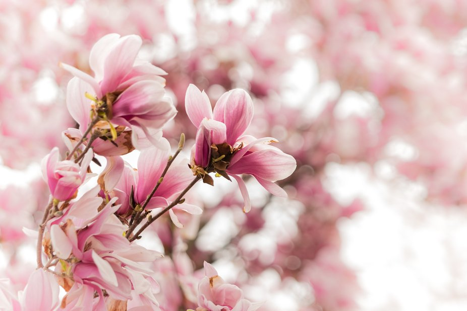 A beautiful tulip magnolia in bloom, the blooms are nearly spent, adding to the ethereal and drea...