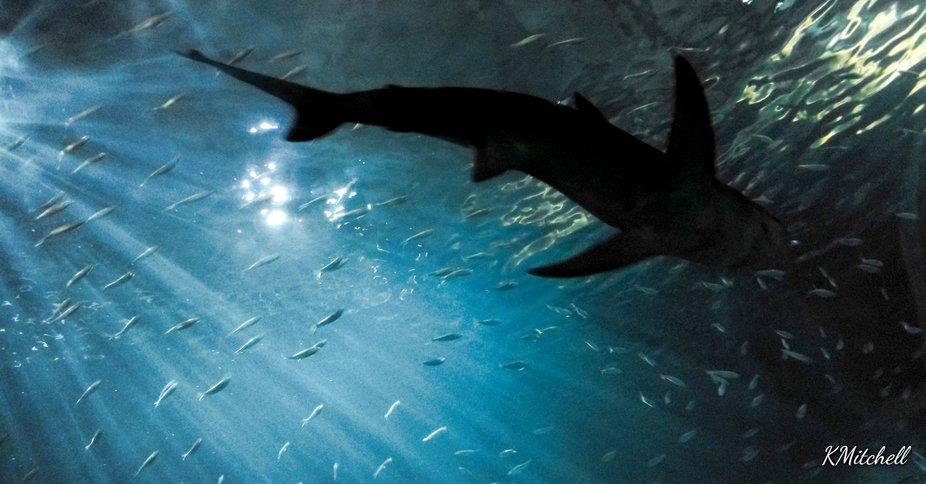 shark in the shadows