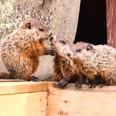 3 of 7 groundhogs hanging out on the island eating everything in site!