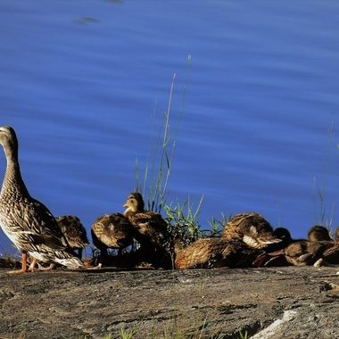 This mallard family was really getting into sunning on the rocks especially the one on the right! It's feet were stretched all out behind it!