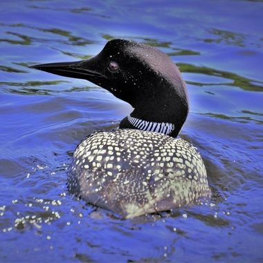 This loon came up right next to the boat. Loved the way it looked like it was leaving a trail of spots behind!