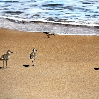 SNB Four Sanderlings