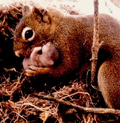 Mother squirrel protecting her baby