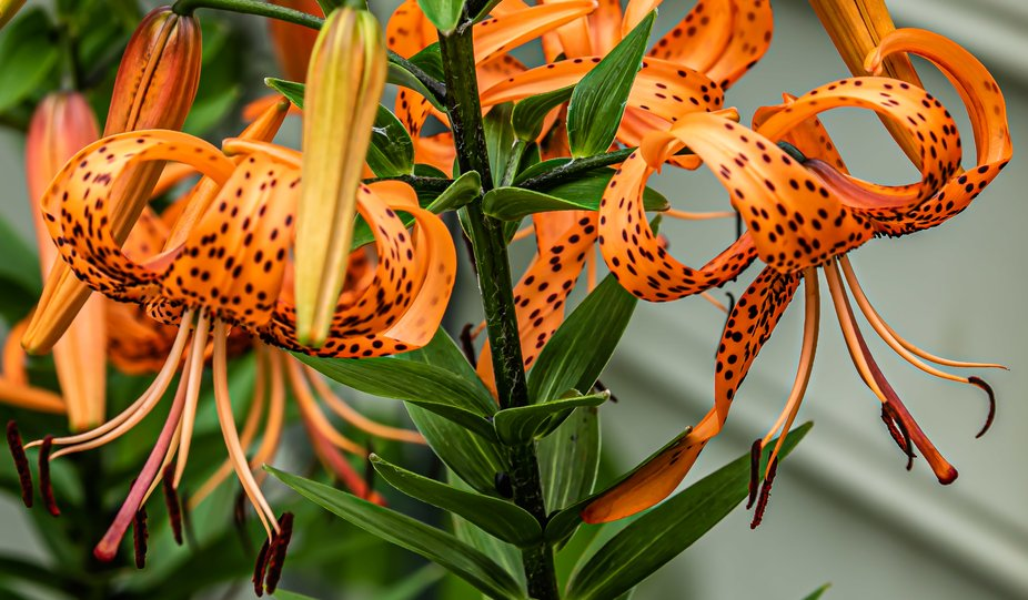 Bright Tiger Lily