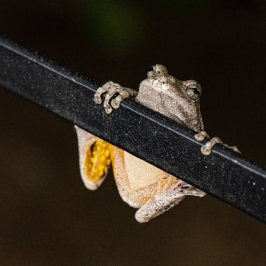 Tree Frog hanging onto a chair structure near family swimming pool.