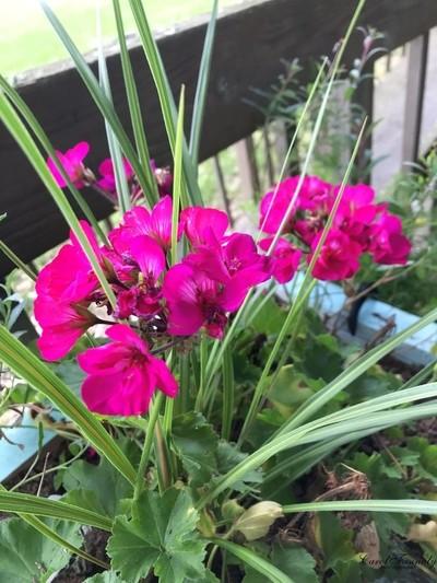 Geranium Mixed Beauties