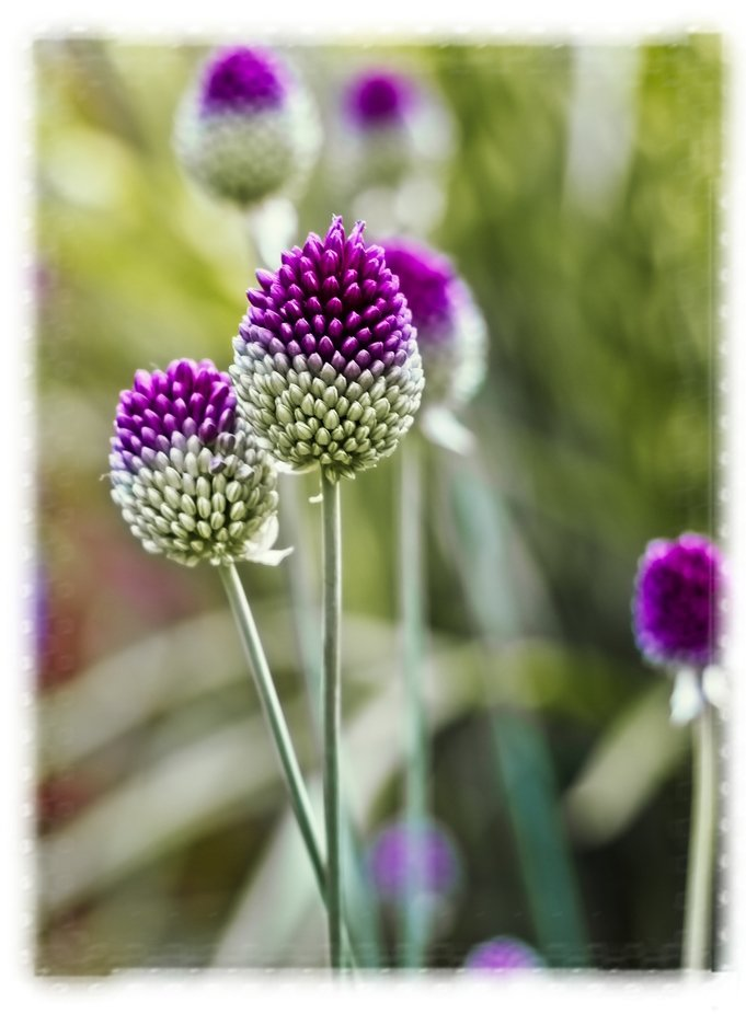 Some allium flowers are starting to bloom in our yard...