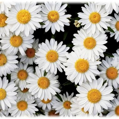 A patch of daisies in full bloom in our yard...