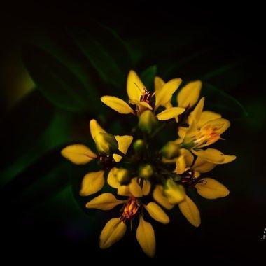 Slender Goldshower Blossoms