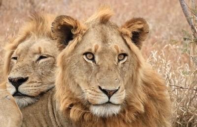 LIONS IMG_5232