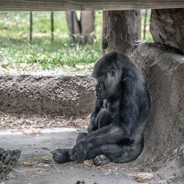 Western Lowland Gorilla - Mogo Zoo