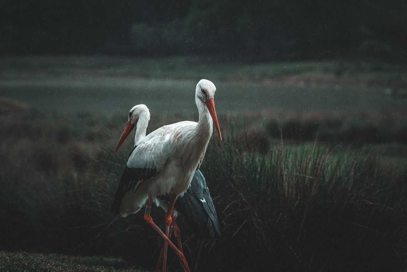 Graceful stork couple