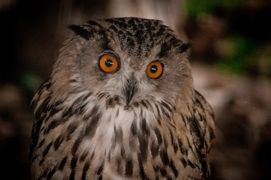 Eagle owl is very attentive: Will you give anything to eat?