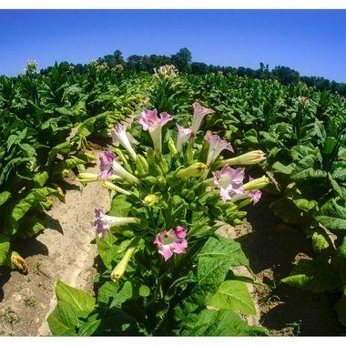 Tobacco flower fisheye 20x30