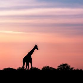 Lonely giraffe walking into the sunset, leaving just a silhouette of the day