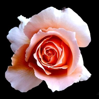 Black background Pink rose