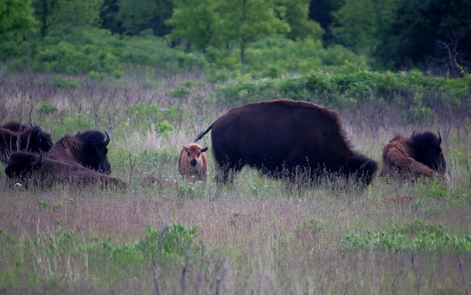 Calf and mother in Minneopa State Park, Minnesota