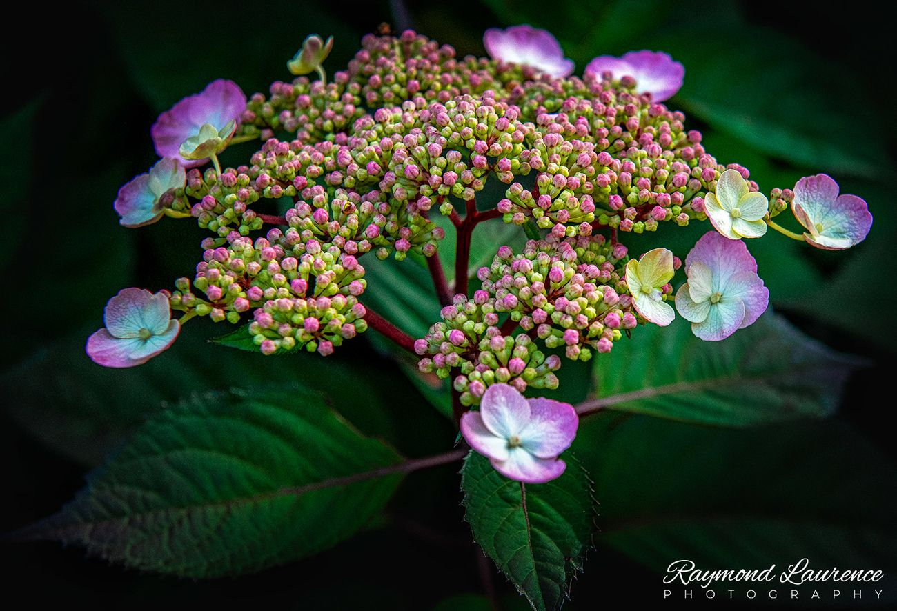 A Red Lady Hydrangea and bloom, photographed in my garden.