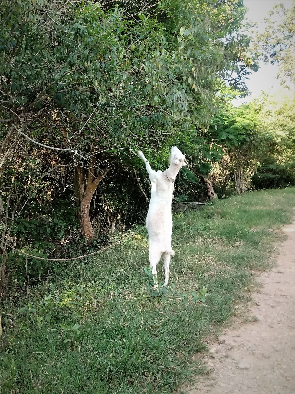 A white goat is dedicated to eat trying to reach their delicacies