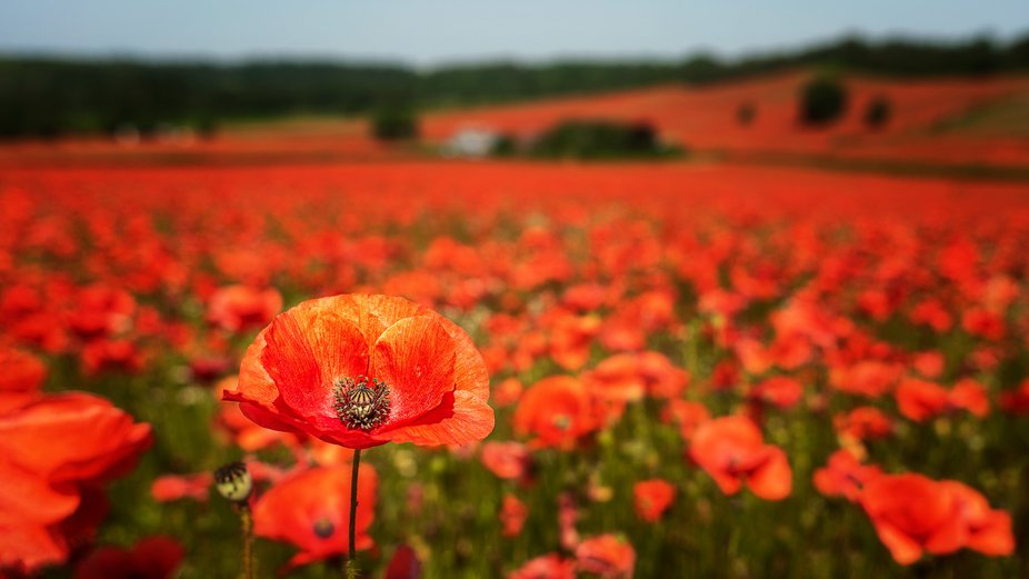 Single poppy with a large meadow of poppies, Worcestershire, UK    Visit my website - https://www...