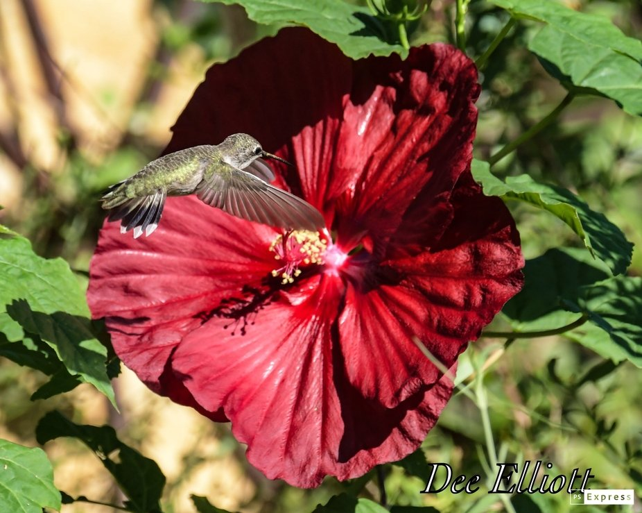 Hardy Hibiscus and Black Chinned Hummingbird