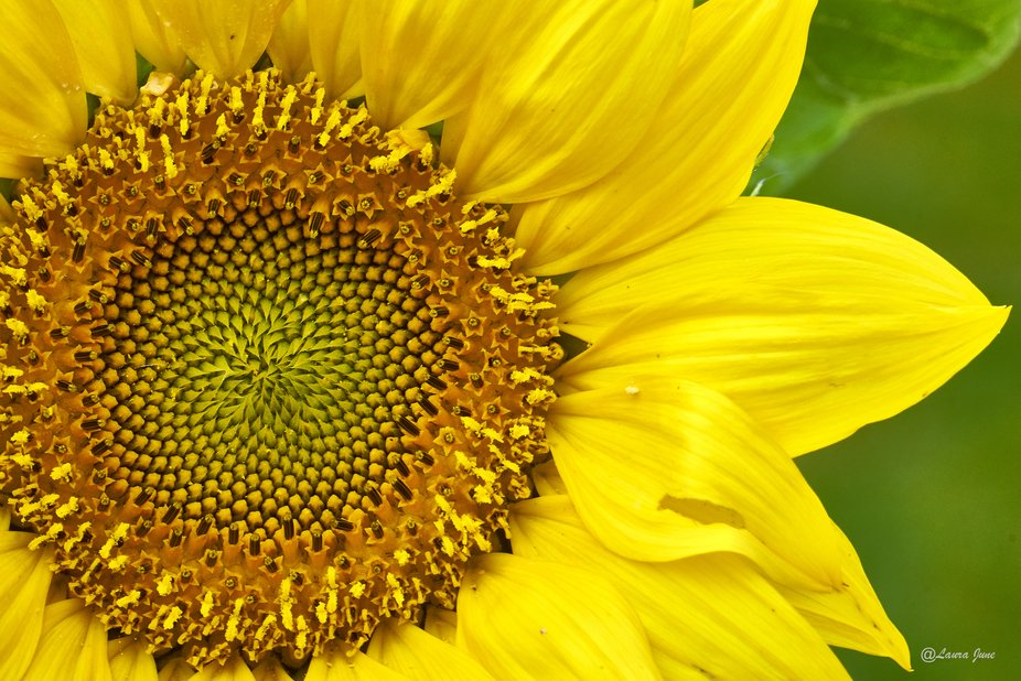 Sunflower Half Edition
