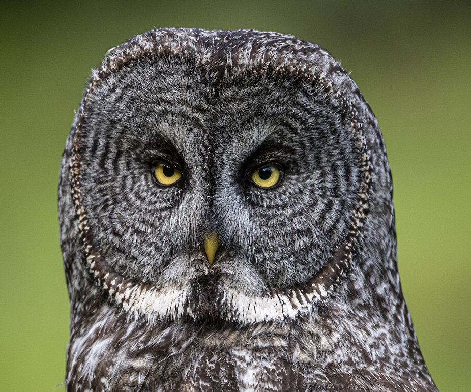 Great Grey Owl Portrait -02