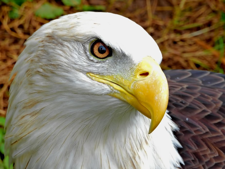 This beautiful bald eagle is one of several rescue birds at the Elmwood Park Zoo in Norristown, PA.