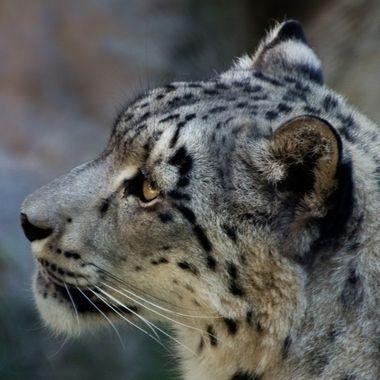 IMG_1683-Snow Leopard_V2_85x11
