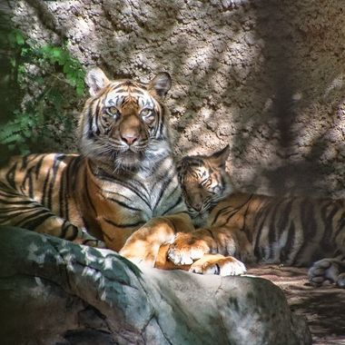IMG_1706-Bengal Tigers_85x11_OS glossy