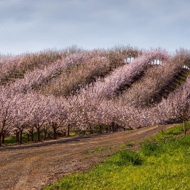 _S6A7335-Undulating Almond Trees in Bloom using gradient tool for composite