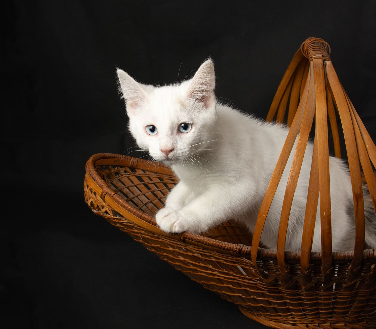 White kitten with blue eyes in a basket.