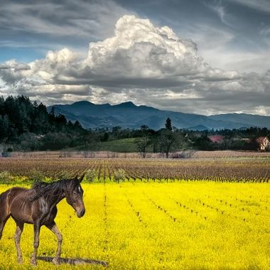 _S6A8721_Napa Vineyards and Mustard_horse_composite_F_160920