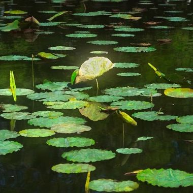_DSC8092-Water Lilies, Land Park Pond