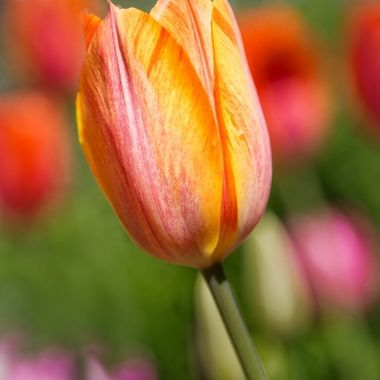 _S6A4819-Orange and Pink variegated tulip, Ananda Village