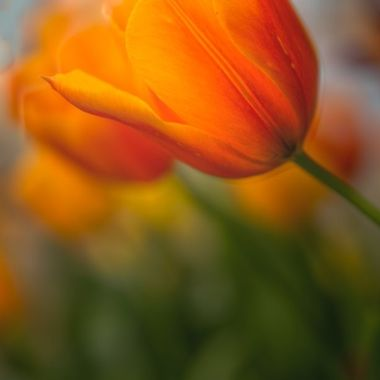 _S6A4912And7more_Ananda Village orange tulip