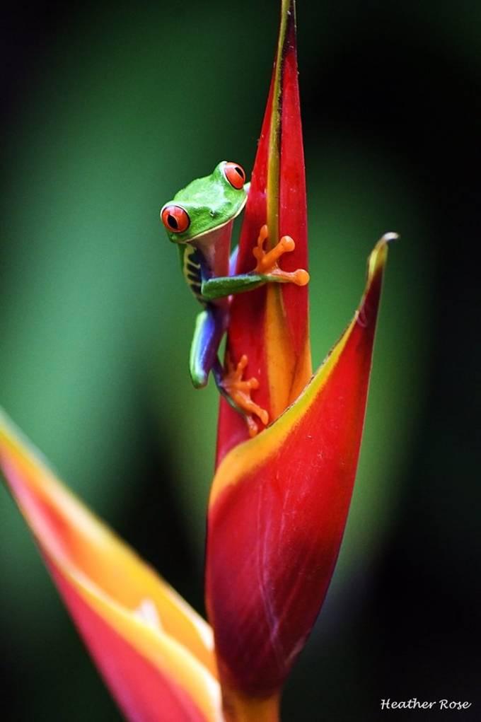 """Tree Frog"" by hhshark347"