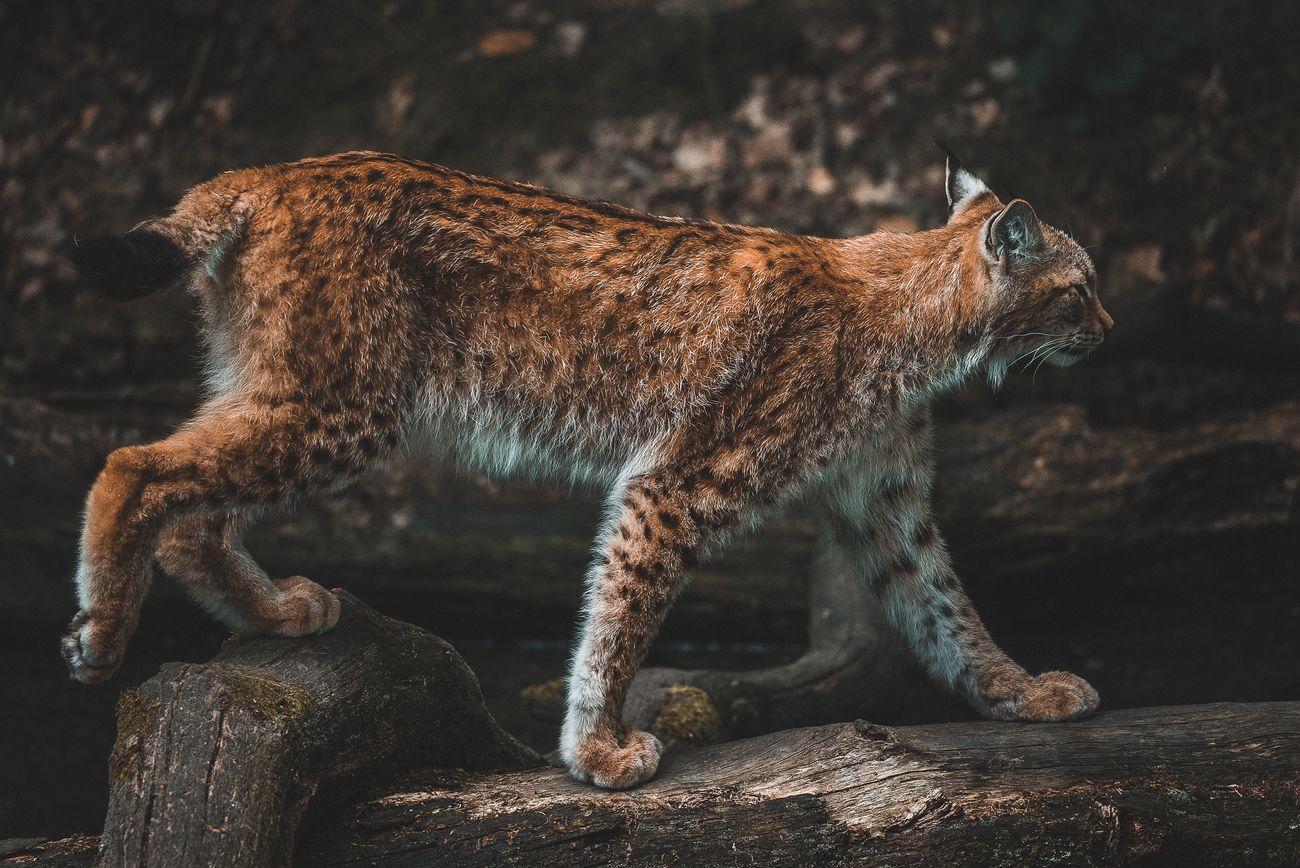 Lynx steps