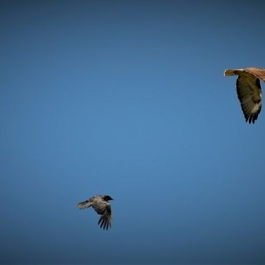 Red Tail Hawk chased by crows (19)