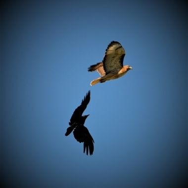 Red Tail Hawk chased by crows