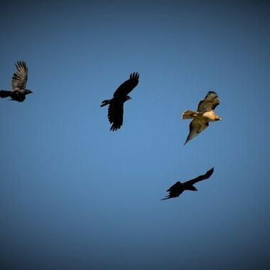 Red Tail Hawk chased by crows (21)