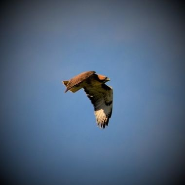 Red Tail Hawk chased by crows (10)