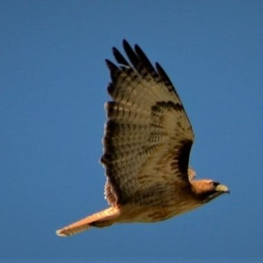 Red Tail Hawk chased by crows (14)