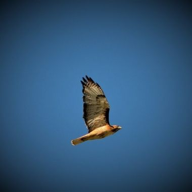 Red Tail Hawk chased by crows (15)