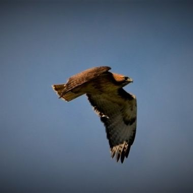 Red Tail Hawk chased by crows (11)