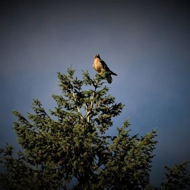 Red Tail Hawk chased by crows (7)
