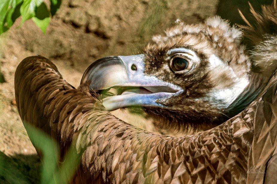 Vulture Portrait II