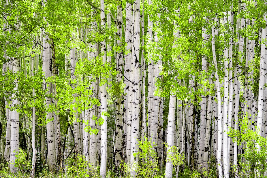 Colorado Aspens  in the Kebler Pass