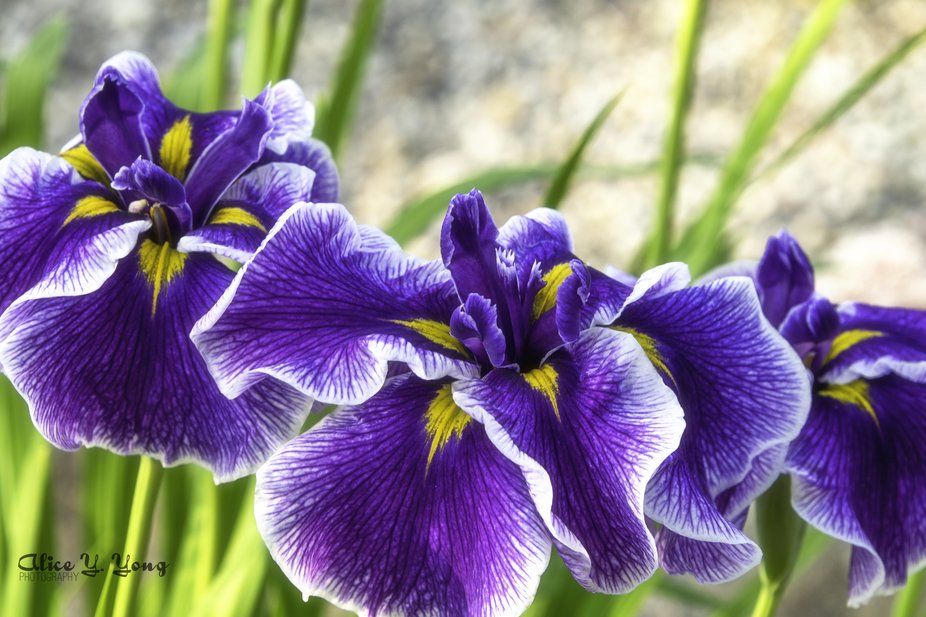 These perennial Irises seem to bloom with a vengeance on saturation in purple in the hot summer t...
