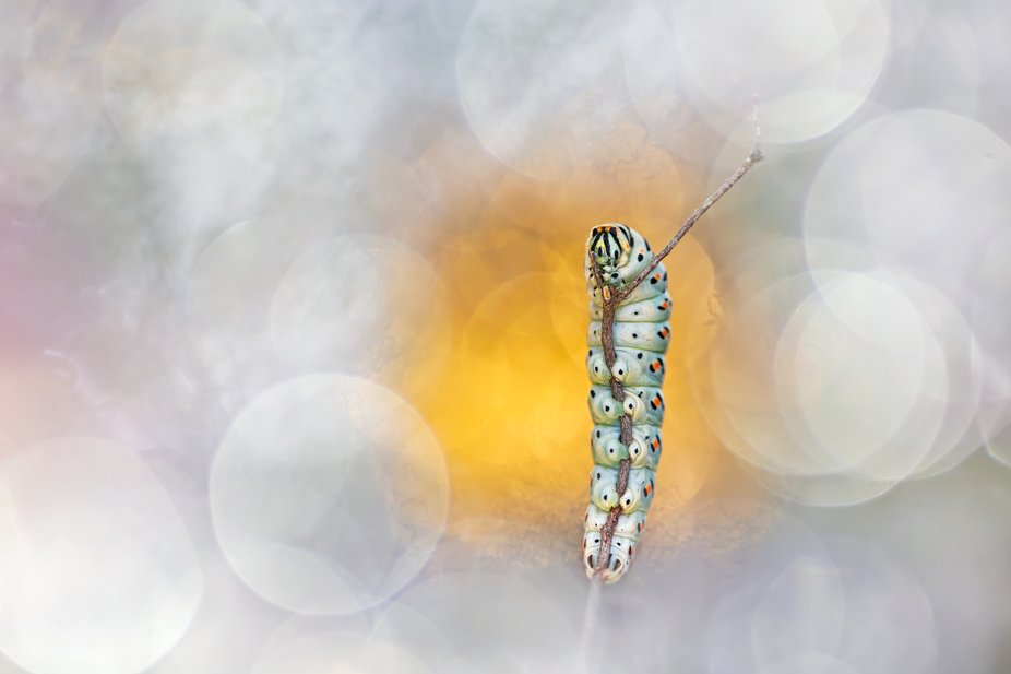 A photo of a swallowtail caterpillar out of my series of glamour macro shots - not done with post...